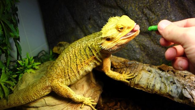 Bearded Dragon Care, Feeding, Cages for beginners