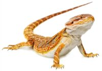 Bearded Dragon Pets