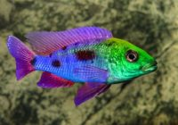 Cichlids Types, Care, Breeding, Tanks