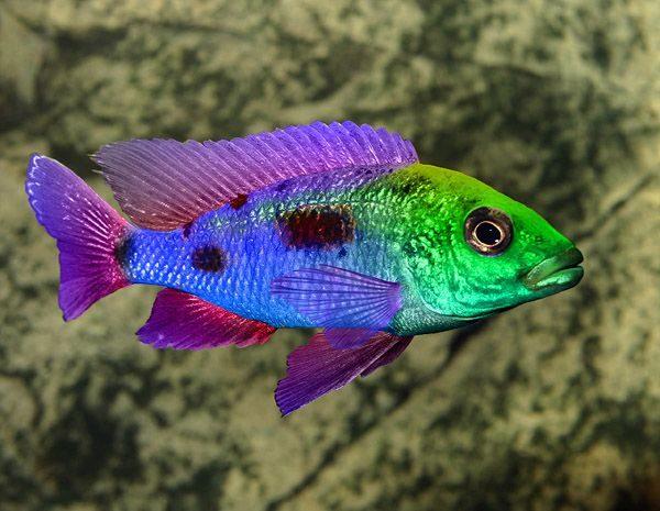 Cichlids Types, Care, Breeding, Tanks