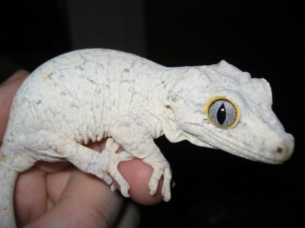 Gargoyle gecko Handling, Setup, Diet, Enclosure