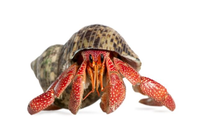 Hermit Crab Care, Shells, Food, Habitat, Molting