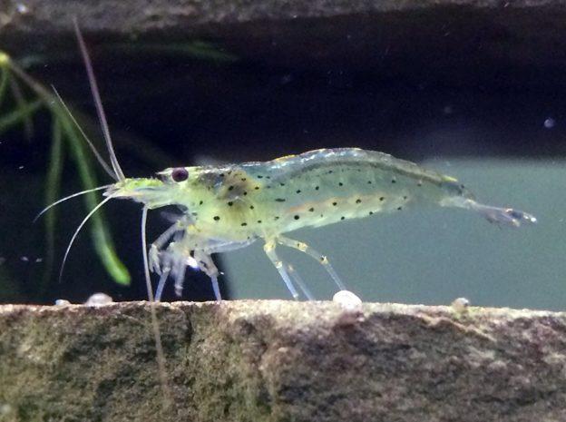 Ghost shrimp Care, Food, Breeding, Tank mates, Molting
