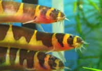 Kuhli Loach Size, Tank, Breeding, Food, Tank Mates, Care