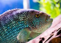 Jack dempsey Fish Care, Tank Size, Food, Life span, Feeding